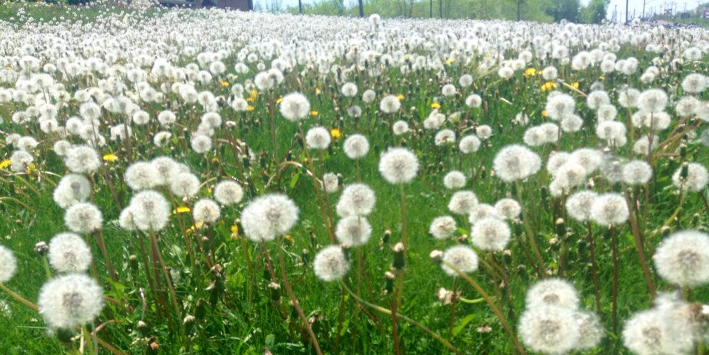 White Pass suspends herbicide spraying plan