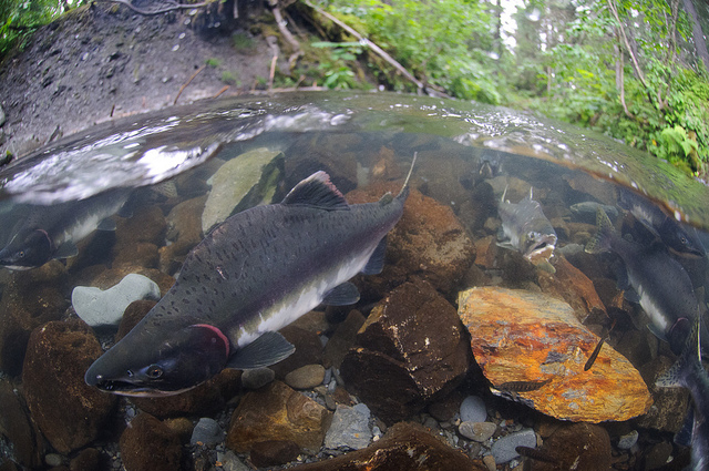 Southeast expects another big pink salmon catch in 2015