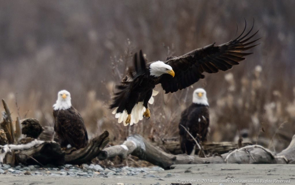 Photographer James Norman shared this picture of eagles along the Chilkat River.