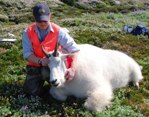 Wildlife biologist, Ryan Scott, handling an immobilized adult male mountain goat to deploy a GPS radio-collar. (Courtesy Alaska Department of Fish & Game)