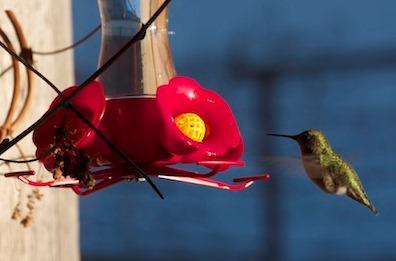 An Anna's Hummingbird. (Photo courtesy Mike Denker/Takshanuk Watershed Council)