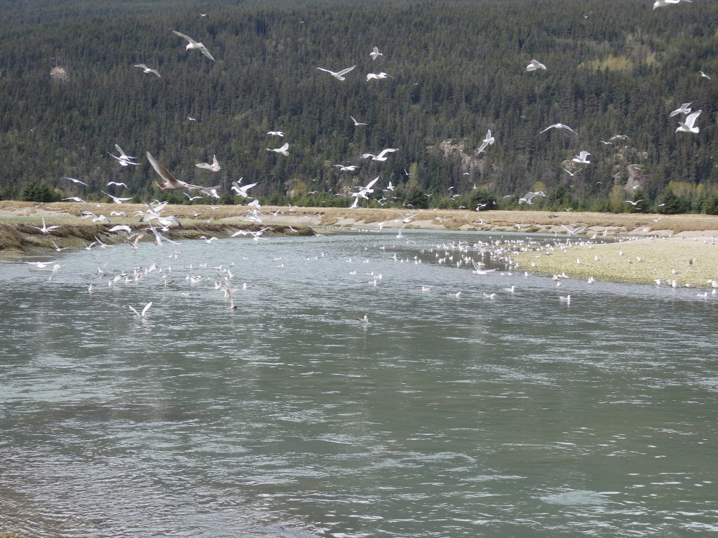 Seagulls feeding on hooligan in the Taiya River. (Emily Files)
