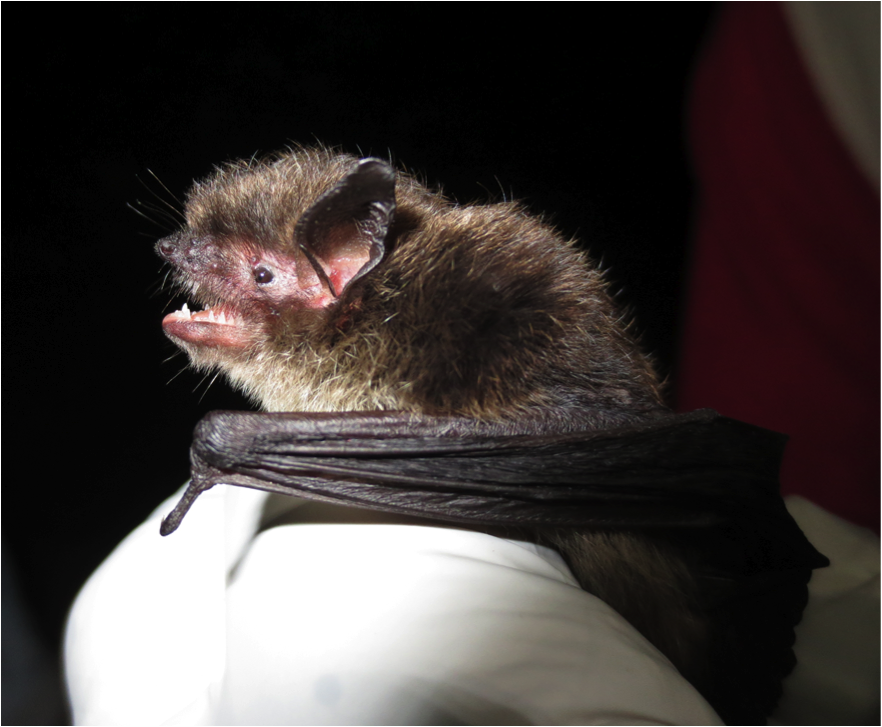 Citizen scientists deploy 'bat mobiles' in Southeast