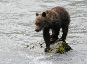 A picture of a brown bear cub taken in Haines in 2010. (Ray Morris/Flickr Creative Commons)