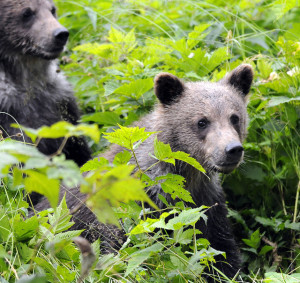 Brown bear cubs near Haines photographed in 2010. (RayMorris1/Flickr Creative Commons)