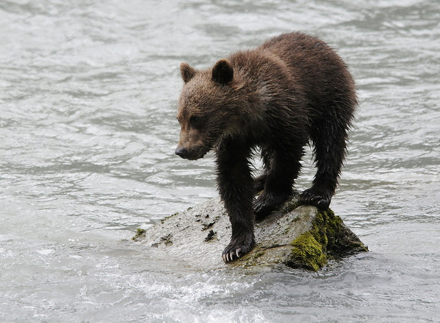 A bear cub taken in Haines in 2010. (Ray Morris/Flickr Creative Commons)