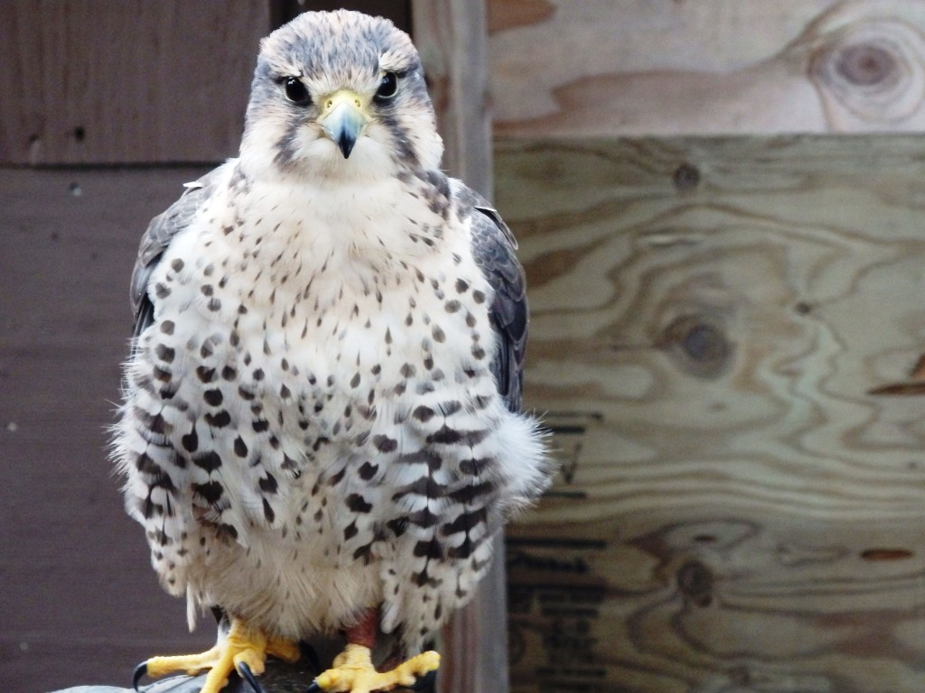 American Bald Eagle Foundation Falcon Zilla in November 2015. (Emily Files)