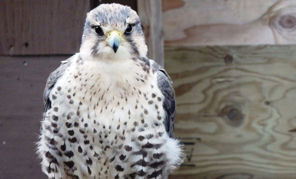 Eagle Foundation offers first public tours of aviaries
