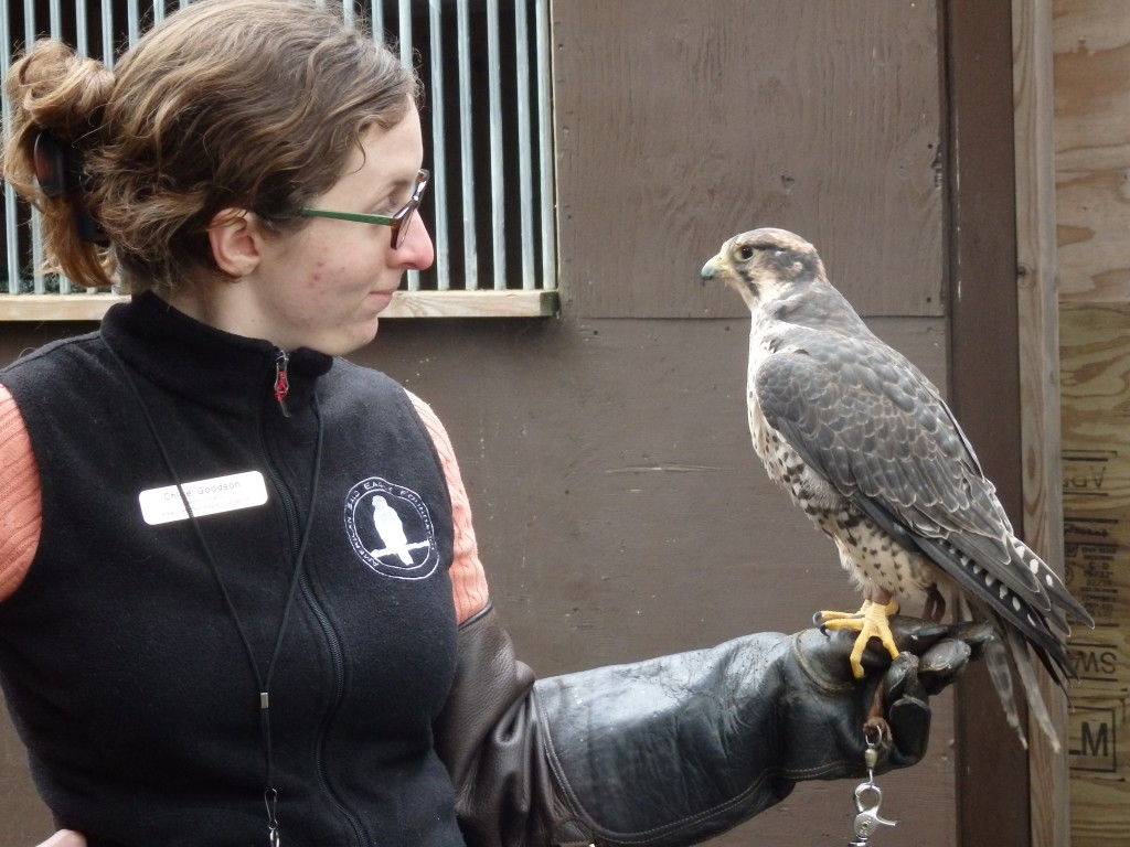 Raptor Curator Chloe Goodson with falcon Zilla. (Emily Files)