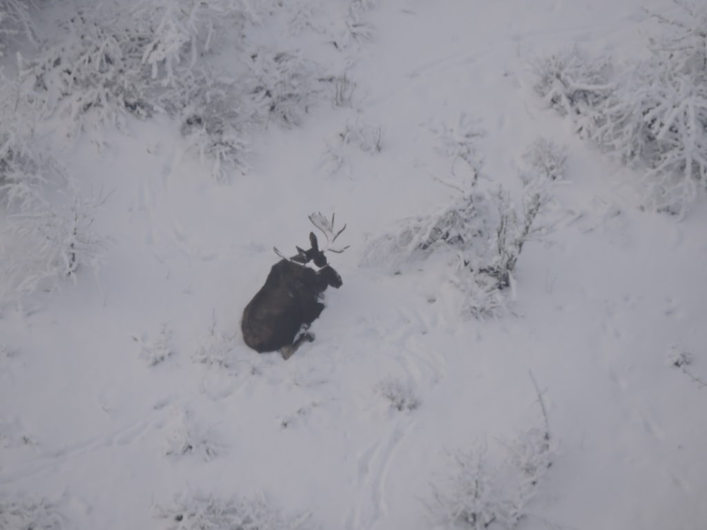 Chilkat Valley moose count indicates 'relatively stable' population