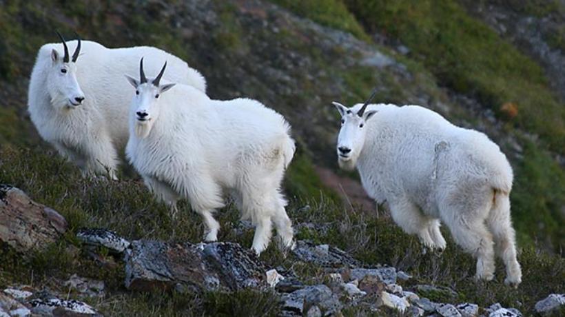 Mountain goats. (ADF&G website)