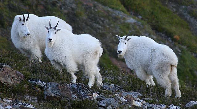 Mountain goats. (ADF&G website)