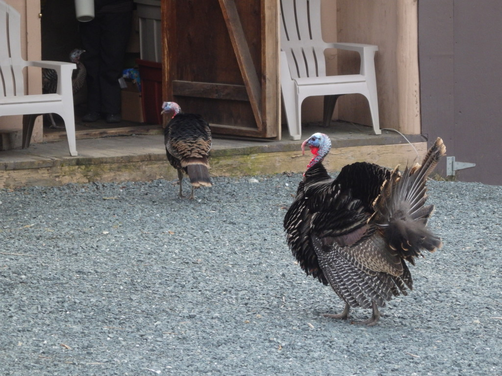 The turkeys on Monday, off of Mt. Riley Road. (Emily Files)
