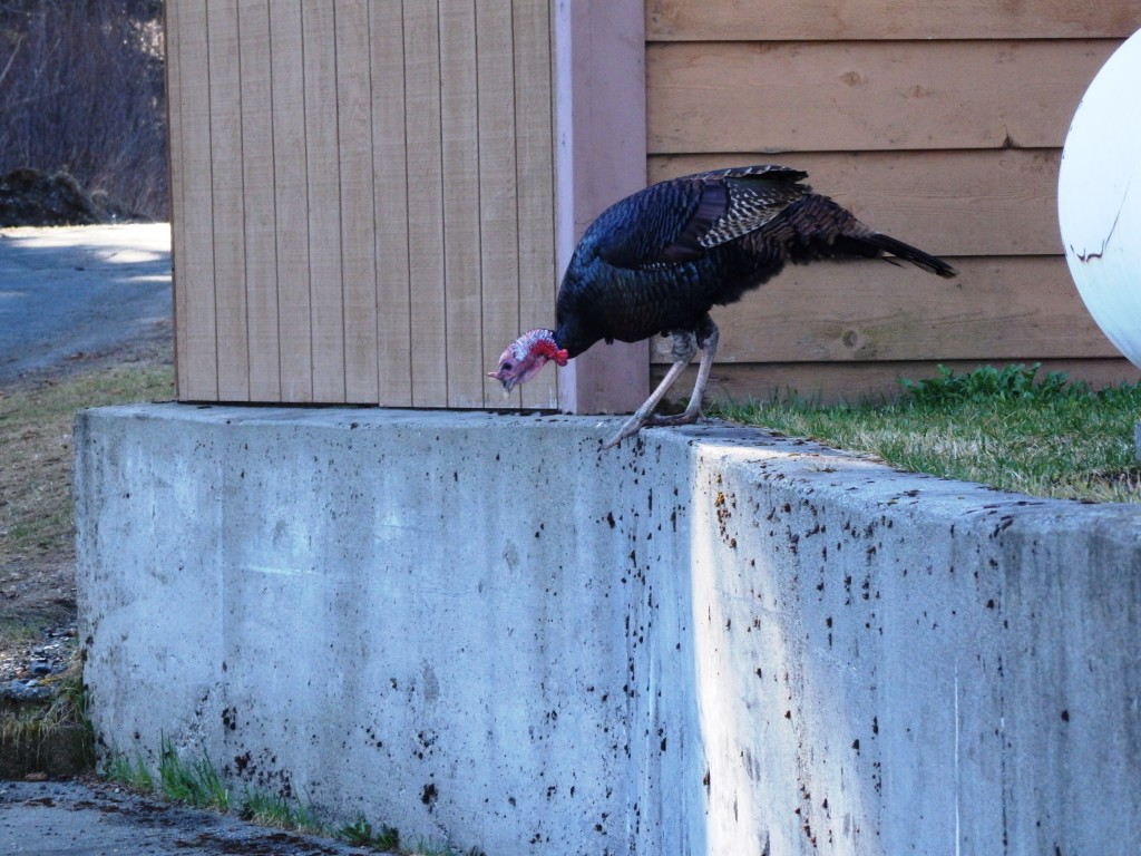 One turkey, seemingly seperated from his companions, near the Chilkat Center. (Emily Files)