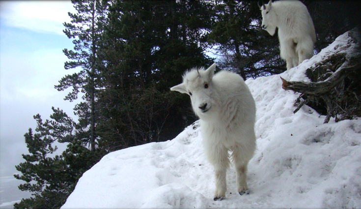 Biologist tracks Chilkat Valley mountain goats to map habitat