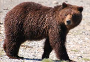 A female brown bear. (Alaska Department of Fish and Game)