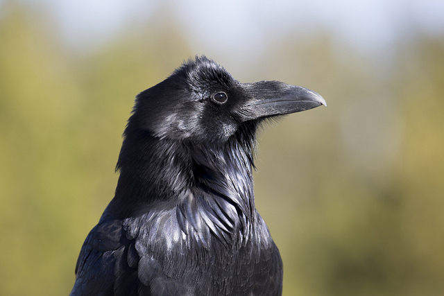 Minor Offenses committee targets noisy corvids
