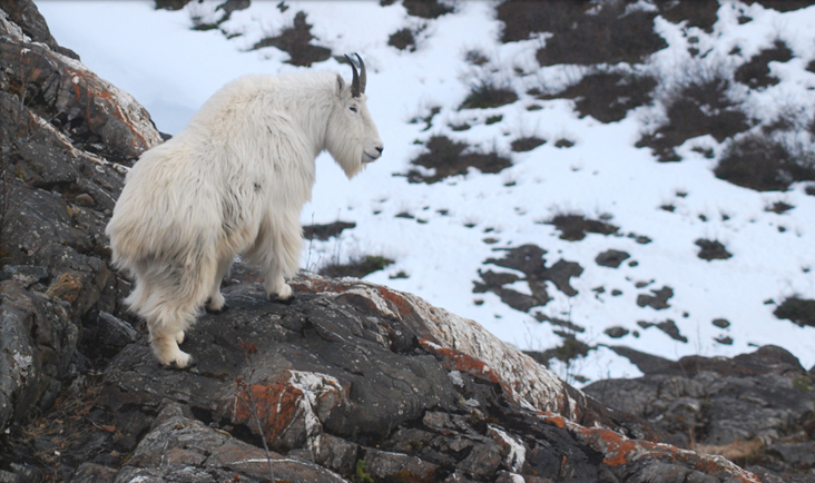 Study shows mining impacts mountain goat winter habitat