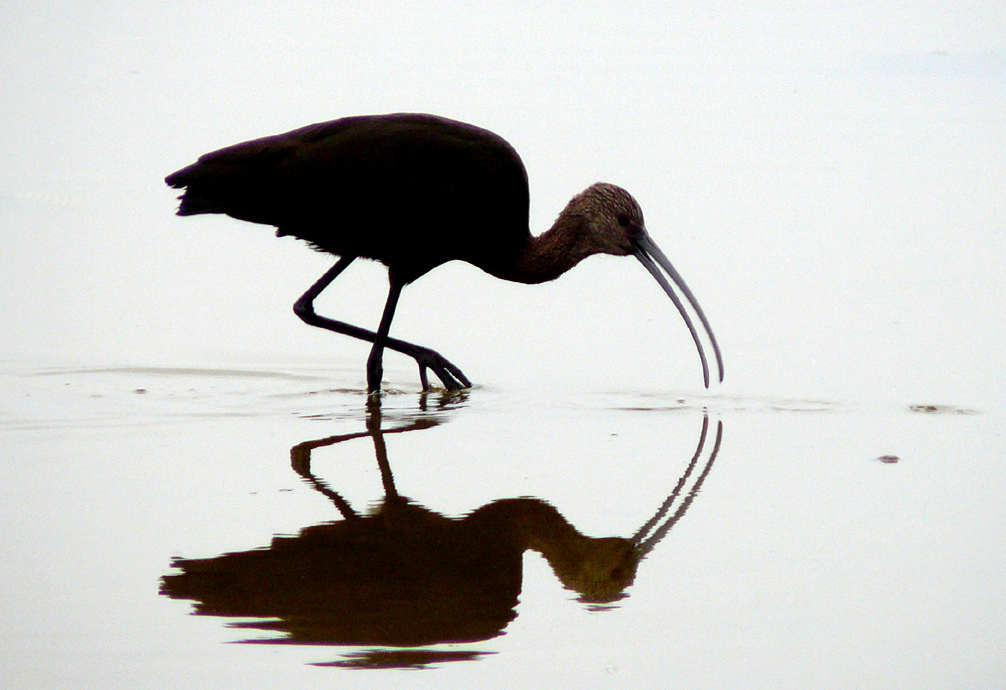 A white-faced ibis. (Flickr creative commons docentjoyce)
