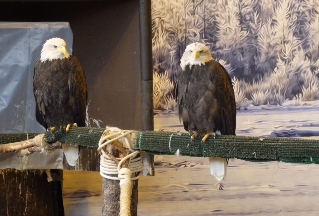 Eagles at the American Bald Eagle Foundation in Haines. (Emily Files)
