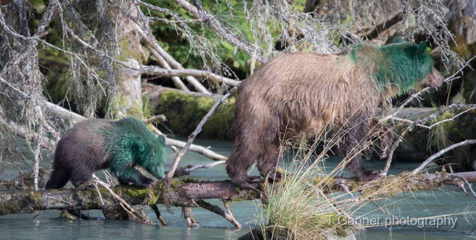 A sow and her cub showed up at the Chilkoot River on Wednesday doused in green paint. Biologists are trying to figure out what happened. (Tom Ganner/T. Ganner Photography -Time & Space