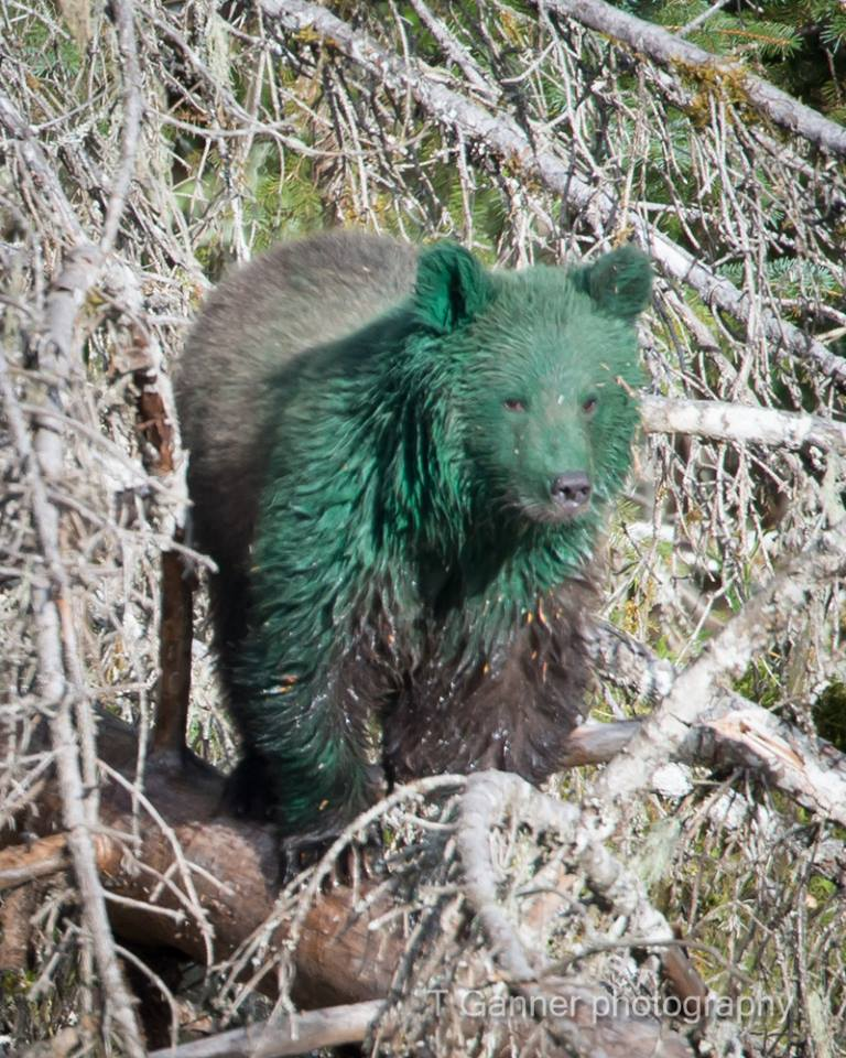 State biologists investigate green bears in Haines