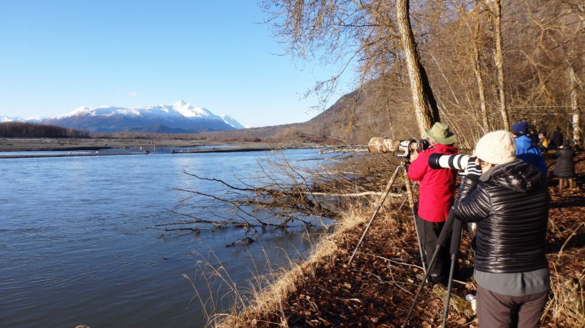 Photographers take pictures of eagles feeding on salmon in the Chilkat River. (Emily Files)