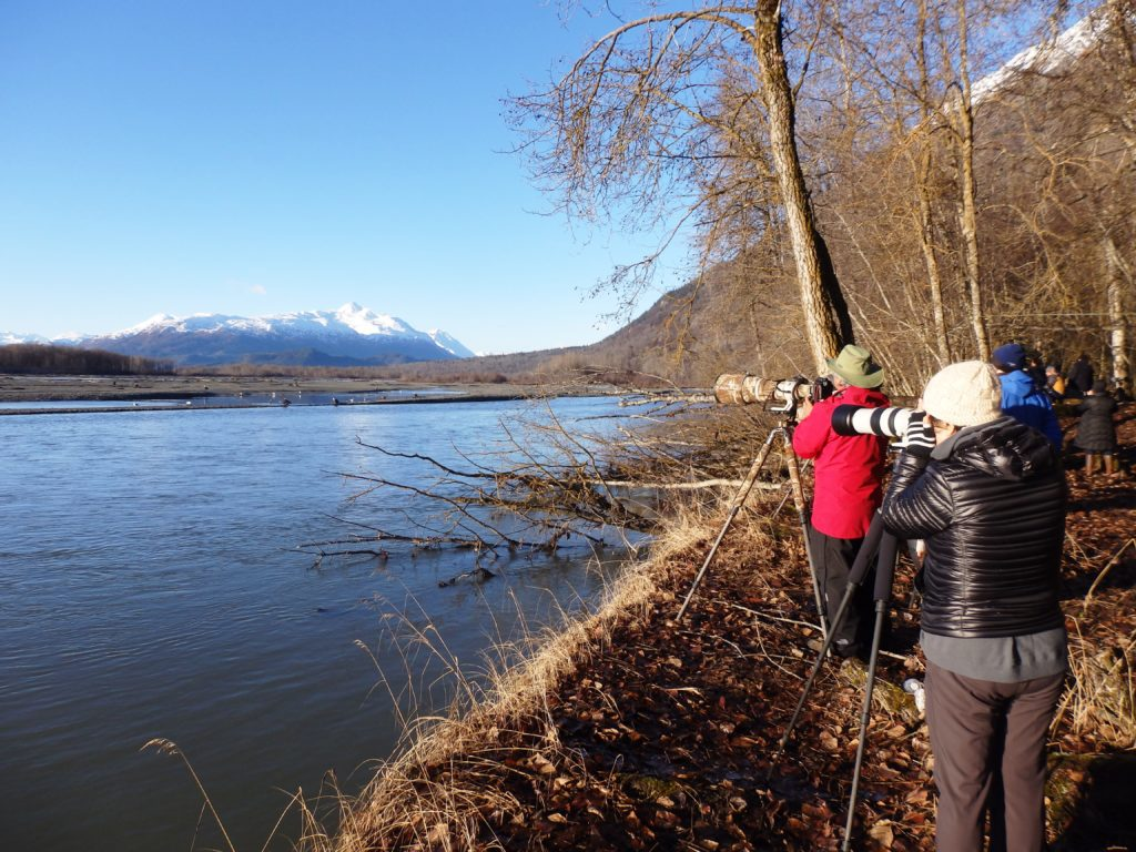 Eagle numbers soar near Haines, while visitors to annual festival fall