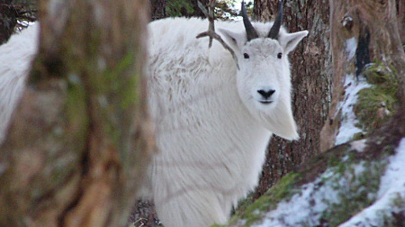 An Alaska mountain goat. (Alaska Department of Fish and Game)