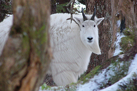 An Alaska mountain goat. (Alaska Department of Fish and Game)
