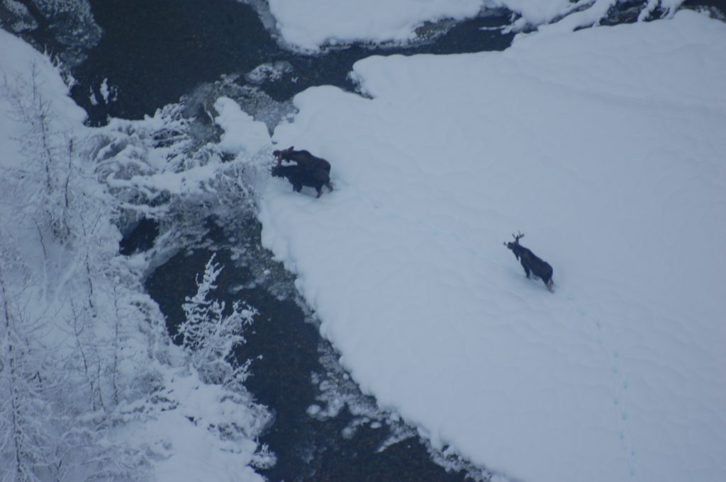 Three moose in the Chilkat Valley photographed during the 2016 survey. (Carl Koch)