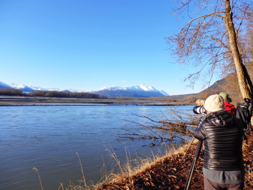 Photographers take pictures of eagles feeding on salmon in the Chilkat River. The Chilkat River is one of four water bodies in Alaska nominated for Tier 3 protection. (Emily Files)