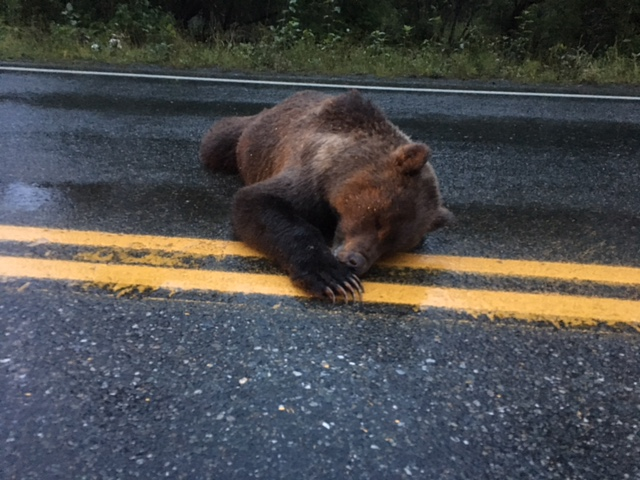 Brown bear found shot and killed on the Haines Highway