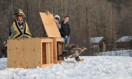 Two rehabilitated eagles return to the wild during the Alaska Bald Eagle Festival