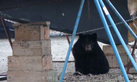 UPDATE: Skagway police shoot and kill bear cub in residential area