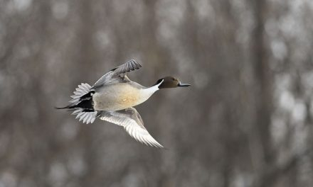 Waterfowl season to start early this year