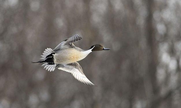 Waterfowl season draws to a close