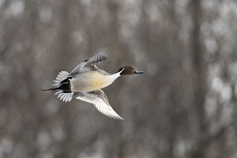 Waterfowl season draws to a close
