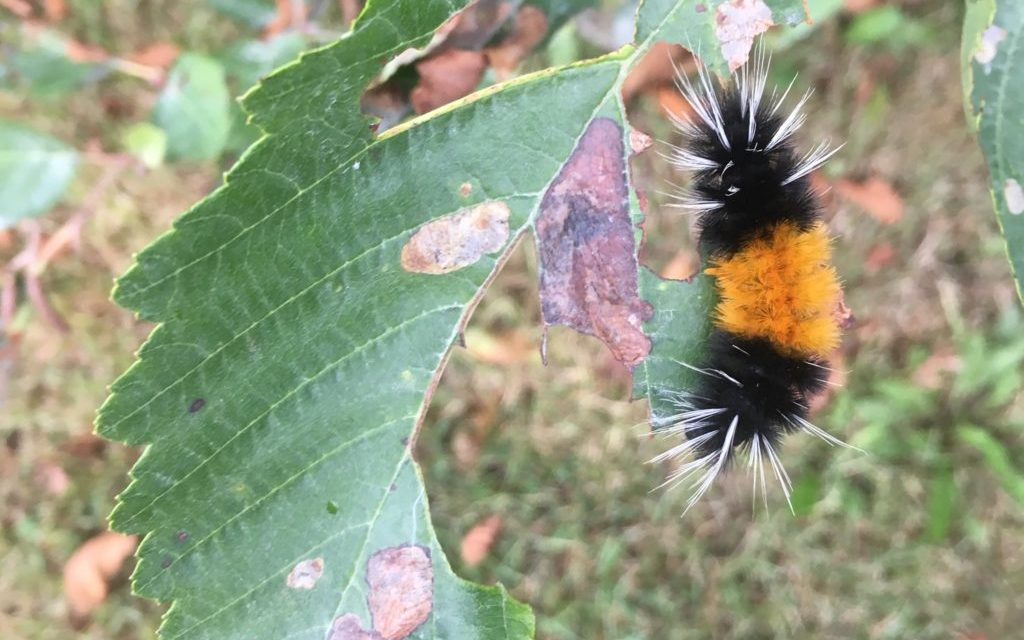 Spotted Tussock moths crawl all over the Upper Lynn Canal