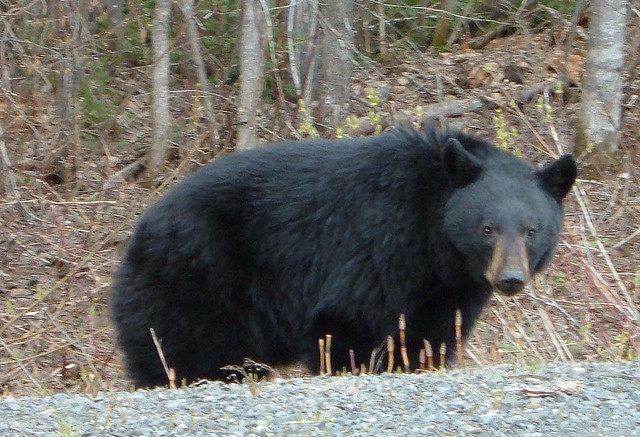 Hikers turned back on Chilkoot Trail after bear incident